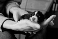 Gerade mal eine Hand voll Hund... ein einwöchiges Bolonka-Welpen.